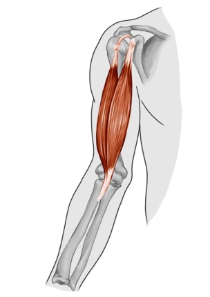 Image result for bicep muscle